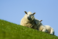 Sheep with lamb, Westerhever, Germany, April 2009