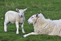 Cheviot sheep (Ovis aries) lamb and ewe in field in the Scottish Highlands, Scotland, UK, May