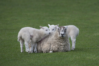 Domestic sheep, ewe with two lambs, Norfolk, UK, March