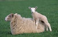 Domestic sheep, lamb standing on ewe, Norfolk, UK, March