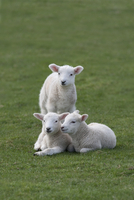 Domestic sheep, three lambs together in a field, Norfolk, UK, March
