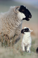 Black-faced sheep (Ovis domesticus) ewe with lamb, Lanarkshire, Scotland, April