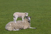 Domestic sheep (Ovis aries) lambs in meadow playing, with one standing on Ewe, Norfolk, UK, March.