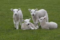 Domestic sheep (Ovis aries) lambs playing in meadow, Norfolk, UK, April. 20070003199| 写真素材・ストックフォト・画像・イラスト素材|アマナイメージズ