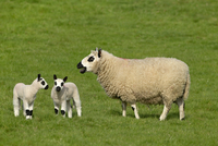 Kerry Hill sheep flock Ewe and two lambs
