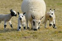 Kerry Hill sheep - ewe grazing with lambs, UK, April