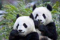 Two Giant pandas {Ailuropoda melanoleuca} Sichuan, China, CAPTIVE