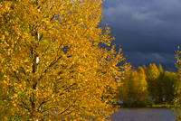 Birch tree in autumn, Laponia / Lappland , Finlandia.