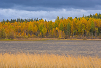 Autumn colours of Taiga woodland beside lake,  Laponia / Lappland , Finland