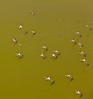 Aerial view of flock of Lesser Flamingos (Phoeniconaias minor) flying low over Lake Magadi, Rift Valley, Kenya, Africa, August 2