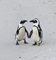 Pair of African / Black-footed penguins (Spheniscus demersus) on a beach. South Africa, July 2010
