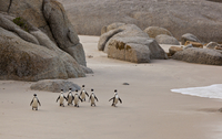 Group of African / Black-footed penguins on a beach. Cape Town, South Africa, July 2010