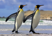 King penguin (Aptenodytes patagonicus) pair coming out of water 'hand in hand', Falkland Islands