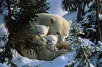 Polar Bear (Ursus maritimus) mother with cubs in snow hollow, Canadian Arctic