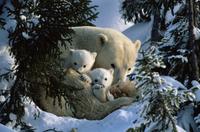 Polar Bear (Ursus maritimus) mother with cubs in snow hollow, Canadian Arctic