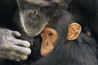 Chimpanzee (Pan troglodytes) mother with youngster, captive, Chimfunshi Orphanage, Zambia.