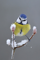 Blue Tit (Parus caeruleus) perched in snow, Wales, UK, January