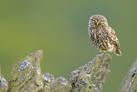Little Owl (Athene noctua) perched on a stone wall. Wales, UK, June.