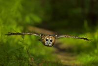 Tawny Owl (Strix aluco) flying through woodland. Controlled conditions. UK, Europe, June.