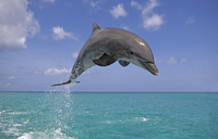 Bottlenosed dolphin (Tursiops truncatus) jumping, Caribbean