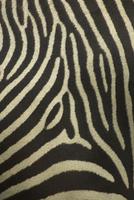 Close-up of Common zebra (Equus quagga) coat, Kenya