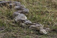 アフリカニシキヘビ 20070003792| 写真素材・ストックフォト・画像・イラスト素材|アマナイメージズ