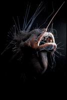 ヒレナガチョウチンアンコウの仲間 20070004118  写真素材・ストックフォト・画像・イラスト素材 アマナイメージズ