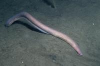海底に頭を隠すホソヌタウナギの仲間 20070004213  写真素材・ストックフォト・画像・イラスト素材 アマナイメージズ