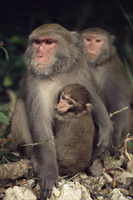 タイワンザル 20070004373  写真素材・ストックフォト・画像・イラスト素材 アマナイメージズ