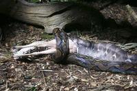 キョンを捕食するアミメニシキヘビ 20070004420| 写真素材・ストックフォト・画像・イラスト素材|アマナイメージズ