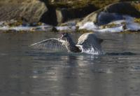 シロカモメを捕食するホッキョクグマ