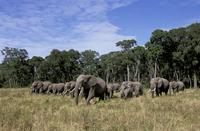 アフリカゾウ 20070004565| 写真素材・ストックフォト・画像・イラスト素材|アマナイメージズ