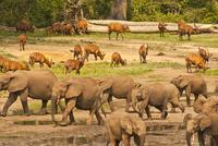 マルミミゾウとボンゴの群れ 20070004567| 写真素材・ストックフォト・画像・イラスト素材|アマナイメージズ