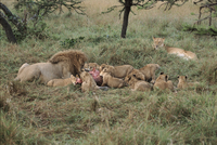 捕食するライオンのオスと子 メスたちはそれを見ている