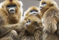 キンシコウの亜種の家族 20070005232| 写真素材・ストックフォト・画像・イラスト素材|アマナイメージズ