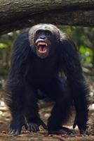 ニシチンパンジーの亜種 20070005516| 写真素材・ストックフォト・画像・イラスト素材|アマナイメージズ
