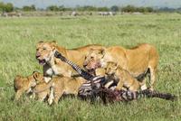 ライオン 20070005524  写真素材・ストックフォト・画像・イラスト素材 アマナイメージズ