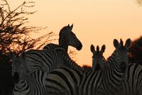 夕暮れのサバンナシマウマ 20070005539| 写真素材・ストックフォト・画像・イラスト素材|アマナイメージズ