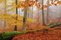 秋のヨーロッパブナの林