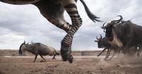 走るオグロヌーとサバンナシマウマ 20070005578| 写真素材・ストックフォト・画像・イラスト素材|アマナイメージズ