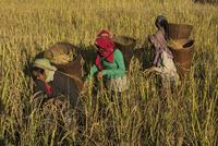 稲刈りをするアディ・ガロン族の女性