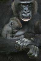 母親の腕の中で眠るニシローランドゴリラの赤ちゃん 20070005607| 写真素材・ストックフォト・画像・イラスト素材|アマナイメージズ