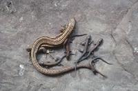 コモチカナヘビの母子