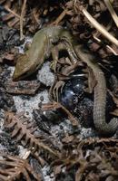 出産するコモチカナヘビ