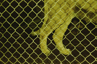 Lion's legs walking behind cage