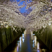 Cherry blossom over river