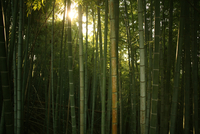 Green bamboo forest with sunlight flickering through