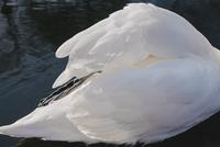 Swans wings. Brussels, Belgium