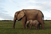 Elephant mother and child walking together. South Africa
