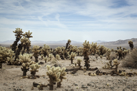 Cholla cactus garden in in desert landscape, Joshua Tree National Park, Mojave desert, California, U.S.A